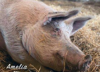 Amelia the pig